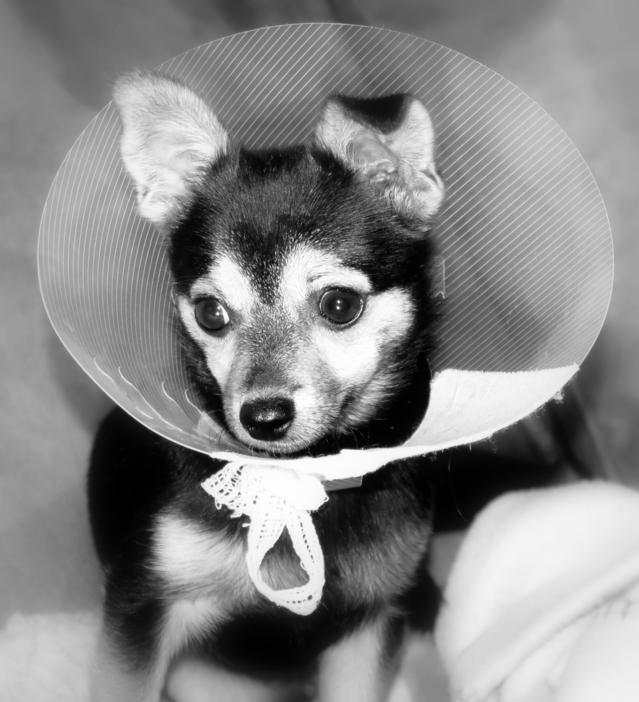 Kastrace psa / feny - ochranný límec
